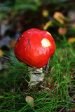 Autumn Fruiting Fungi Royalty Free Stock Photo