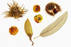 Autumn fruits. Chestnut, hazelnut, autumn leaf and a berry on white background Stock Photography