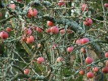 Autumn fruits, southern Bohemia. Czech Republic Stock Photo