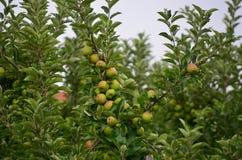 Autumn fruits, southern Bohemia Stock Photos