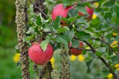 Autumn fruits, southern Bohemia. Czech Republic Royalty Free Stock Images