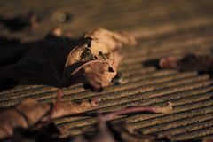 A brown leave in the sun of the evening on a wooden floor royalty free stock photo