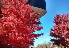Autumn in full red color against blue building and early morning sky Stock Photography