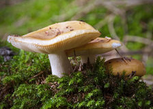 Autumn Fungi Royalty Free Stock Photography