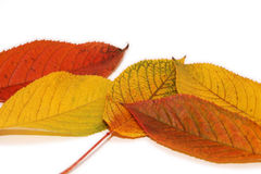 Autumn Garden. Isolated leaves on white background Royalty Free Stock Images