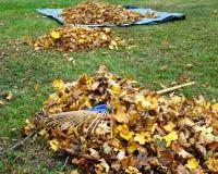 Autumn Garden Chore. Raking fallen leaves onto a tarp for easier disposal: annual garden chore Stock Photo