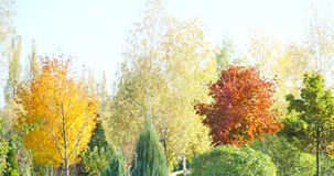 Autumn garden with colored leaves.  stock footage