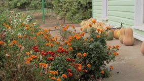 Autumn garden of flowers after rain. Harvesting. Nature is preparing for winter stock video