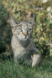 Autumn in the garden is a gray cat on the grass. Royalty Free Stock Images
