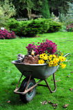 Autumn garden harvest. A wheelbarrow filled with autumn fruit and flowers, just freshly harvested in the garden Stock Images