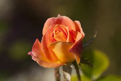 Orange rose flower opening on a sunny afternoon royalty free stock image