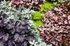 Plant wall with wax begonia, dusty miller and gold mound plants royalty free stock photos