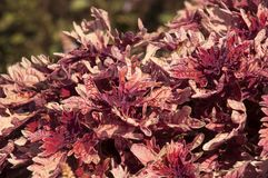 Red and orange leaf coleus plant royalty free stock images