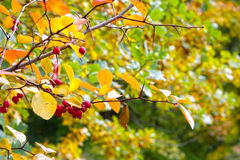 Autumn in garden. Yellow and yet green leefs in ukrainian garden Royalty Free Stock Image