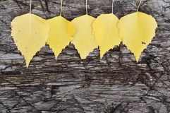 Autumn garland. Yellow birch leaves on the old board royalty free stock image
