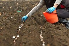 Autumn garlic planting Stock Image