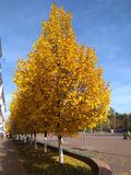 Autumn geometry.Yellow triangles of trees. royalty free stock photography