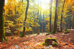 Autumn German forest with sun beam. Royalty Free Stock Image