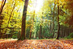 Autumn German forest with sun beam. Royalty Free Stock Photography