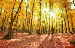 Autumn German forest with sun beam. Royalty Free Stock Photo
