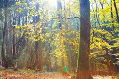 Autumn German forest with sun beam. Stock Image