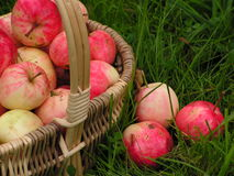 Autumn gifts 4. Apples: harvest of the orchard stock photo