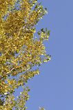 Autumn gingko tree Stock Photo