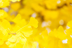 Autumn gingko Royalty Free Stock Image