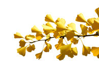 Autumn Ginkgo branch on a white background. (isolated Royalty Free Stock Photography