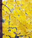 Autumn Ginkgo Leaves (close-up) royalty free stock images