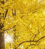 Autumn Ginkgo Leaves royaltyfri fotografi