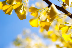 Autumn Ginkgo Leaves Against Sky Royalty Free Stock Photo
