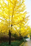 Autumn Ginkgo Leaves Royalty Free Stock Photo
