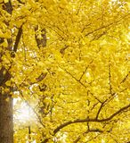 Autumn Ginkgo Leaves royalty free stock photography