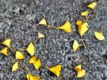 Autumn ginkgo leaves Stock Photo