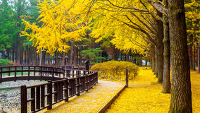 Autumn with ginkgo tree in Nami Island. stock images