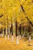 Ginkgo trees Royalty Free Stock Photo