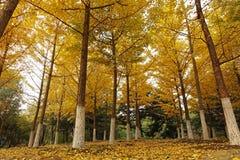 Autumn Ginkgo Trees i förorterna royaltyfri bild