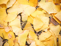 Autumn ginko Stock Photos