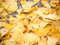 Autumn ginko Stock Photo