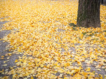 Autumn ginko Royalty Free Stock Photo