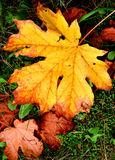 Autumn Glory. Tree and leaves in autumn Royalty Free Stock Photo