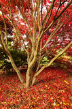 Autumn glory in the red carpet Stock Images