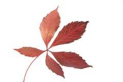 Autumn Gold. Autumn Leaf showing seasonal colours Royalty Free Stock Photo