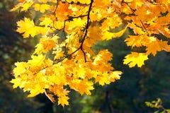 Autumn gold Stock Image