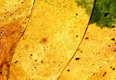 Autumn gold. Leaf green to gold, autumn gold, change of seaon summer to fall, natures art Stock Photo