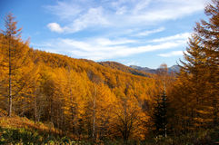 Autumn gold Royalty Free Stock Images