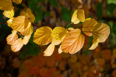 Autumn Gold. Beautiful golden leaves in an autumn setting Stock Photography