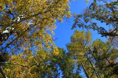 Autumn. Gold birch and larch tops against blue sky Stock Image