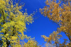 Autumn. Gold birch and maple tops against blue sky Stock Photography